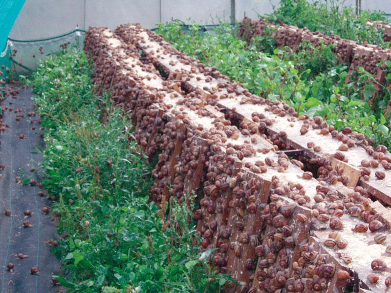 L escargot de la maison blanche pays de maurienne site du syndicat du pays de maurienne - La maison des escargots ...