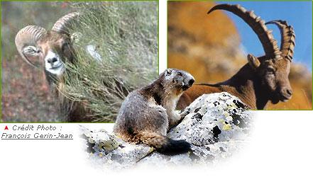 Bouquetins, marmottes et mouflons
