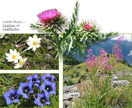 Fleurs sauvages, chardons, flore, végétation